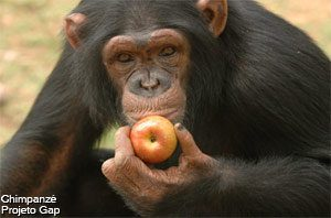 chimpanzes