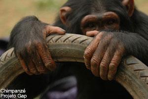 declaracao-chimpanze