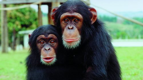 Dois Chimpanzés