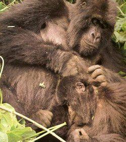 gorilas-da-montanha