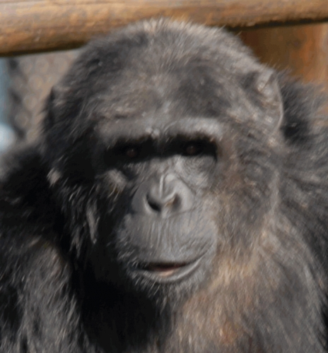 Smuggled, Beaten and Drugged: The Illicit Global Ape Trade