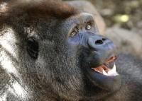 Gorila Loro Parque