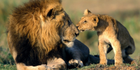 2925_african_lion_and_his_cub_1440x900_3_200x100
