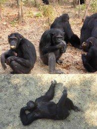 Chimps Zambia 1