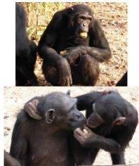 Chimps Zambia 2