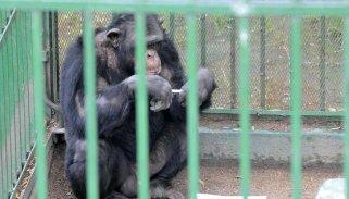 4-chimpance_0