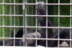 Chimpanzé Gaspar Venezuela