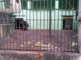 Chimp Toto no recinto_267x200