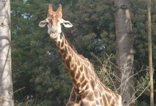 girafa Zola de BH