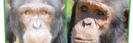 chimpies
