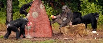 chimps-at-termite-mound-660x440