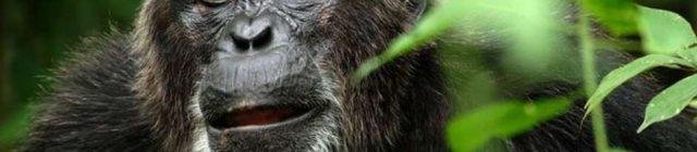chimpanzeebolamirror