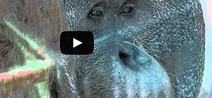 Orangutan Mexico