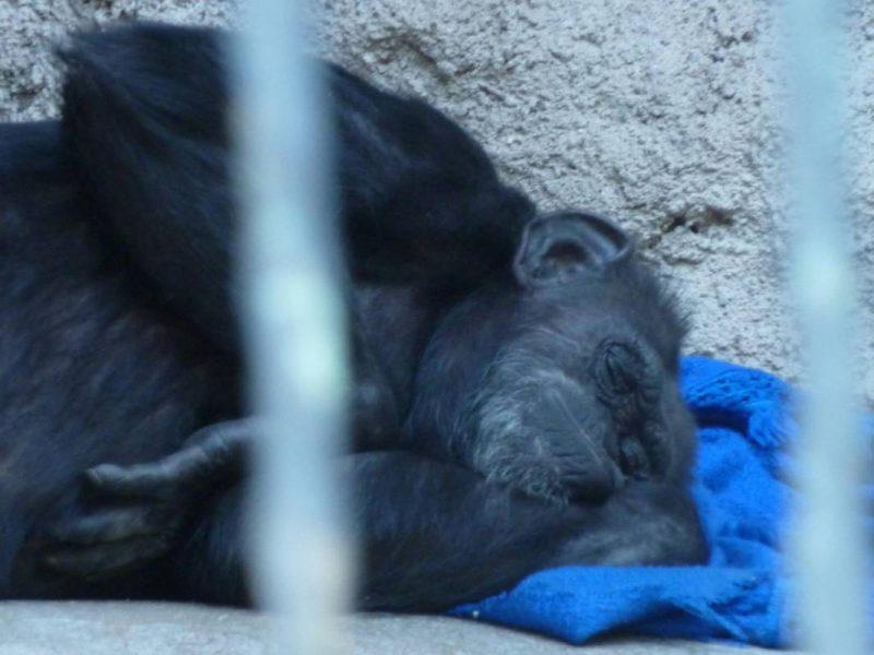 PASA/AFRICA: Babies chimpanzee and gorilla are saved, but