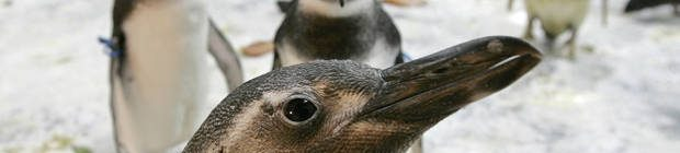 Penguins are seen at the Niteroi Zoo, in Rio de Janeiro, Brazil, on Wednesday, Aug. 2, 2006.  The Brazilian Air Force on Wednesday said it would help some 50 stray penguins dragged by ocean currents to the warm waters off Rio de Janeiro get back to their icy natural habitat. Brazil began operating penguin airlifts in 2000, returning as many as 100 a year to their natural habitat, according to Lauro Barcellos of the Oceanographic Museum. (AP Photo/Silvia Izquierdo)