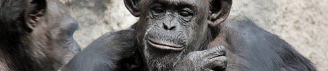 cecilia-chimpance
