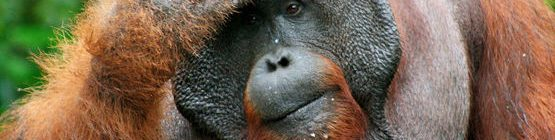 orangutan-tanjung-putin-denkend