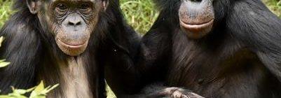 bonobos Jeff McCurry - PGS mini