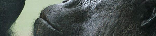 gorila-3