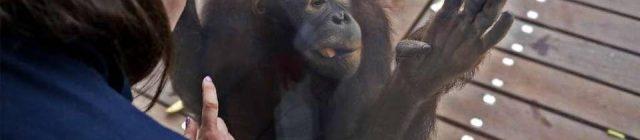 orangutans tll 052215 0595F