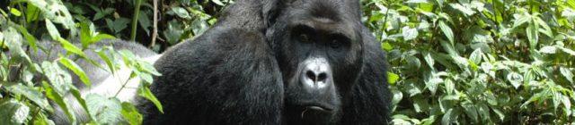 gorilla_beringei_intu_boedhihartono_0